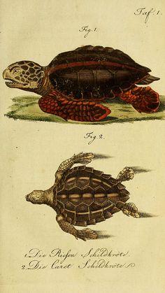 Herrn de la Cepede's Naturgeschichte der Amphibien. v.1.  Weimar :Verlage des Industrie = Comptoir's,1800-1802.  biodiversitylibrary.org/item/24559