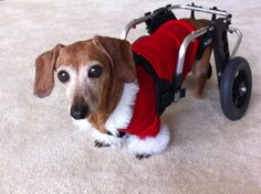 """Lucy"" Waiting for Santa!  Wheelchairs for Handicapped Dogs Hand Built by Ruff Rollin."