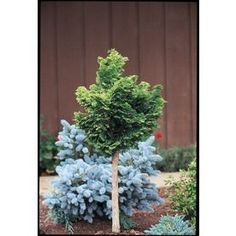 3.25-Gallon Flowers Dwarf Hinoki Falsecypress Standard (L22019)