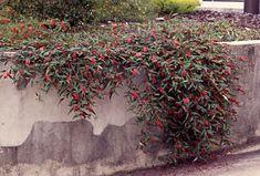 Grevillea 'Poorinda Royal Mantle' - great as a ground cover Backyard Plants, Garden Shrubs, Landscaping Plants, Garden Beds, Garden Plants, Australian Garden Design, Australian Native Garden, Australian Plants, Steep Gardens
