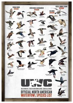 Uwc official north american waterfowl species poster - Ente And Gans Quail Hunting, Deer Hunting Tips, Waterfowl Hunting, Hunting Gifts, Turkey Hunting, Hunting Dogs, Women Hunting, Hunting Quotes, Duck Hunting Decor