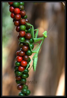Praying Mantis (Sphodromantis viridis)  ~Repinned Via Kazu Naga