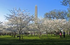 Cherry Blossoms and Washington Monument - The Nation's capitol is a must do vacation for many families, but what are the must do things to see when you are there? Our guide to planning a great family vacation in Washington DC.
