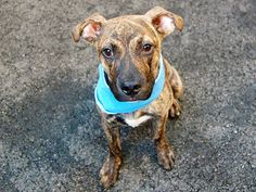 TO BE DESTROYED 7/22/14 Manhattan Center   My name is TIGER. My Animal ID # is A1006096. I am a male y brindle pit bull mix. The shelter thinks I am about 6 MONTHS old.  I came in the shelter as a STRAY on 07/09/2014 from NY 10457, owner surrender reason stated was STRAY.