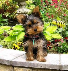 I want to eventually get a Yorkshire Terrier a Miniature Collie, or some kind of small dog breed