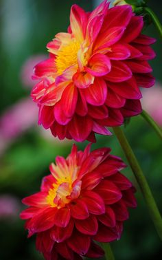 these are so pretty & they come in so many beautiful colors!!.........Dahlias