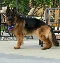 Wicked Training Your German Shepherd Dog Ideas. Mind Blowing Training Your German Shepherd Dog Ideas. Long Haired German Shepherd, German Shepherd Puppies, German Shepherds, Yorkshire Terrier Puppies, Schaefer, Beautiful Dogs, Dog Life, Dogs And Puppies, Free Puppies