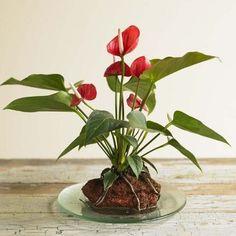 volcano plant