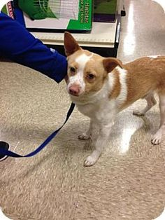 Atlanta, GA - Terrier (Unknown Type, Medium)/Chihuahua Mix. Meet Luv Bug Ralph, a dog for adoption. http://www.adoptapet.com/pet/12717967-atlanta-georgia-terrier-unknown-type-medium-mix