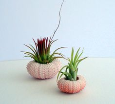 Air Plant Planter in a Pink Sea Urchin by TwistedAcres on Etsy, $5.00