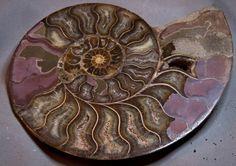 "Stunning Ammonite "" Cleoniceras"" from Mahajanga Madagascar by Heavenlyearthgifts on Etsy"