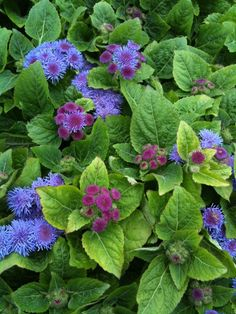 Six Plants That Repel Mosquitoes: Citronella Grass, Basil, Lavender, Ageratum & Marigolds