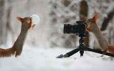 Russian photographer Vadim Trunov recently captured a couple of adorable squirrels having some wintertime fun. Set in a snow-covered forest outside of