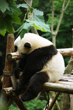 He looks so lonely  maybe I could be his best friend I want a panda soo bad