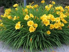 "'Stella D'Oro' Daylily | Full sun to part shade ▪ (H) 14-16"" (W) 18-24"" ▪ Bloom: early to mid-summer and again late summer ▪  Zone 4-11"