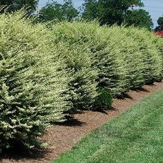 Variegated Privet on Fast Growing Trees Nursery. Drought tolerant. Prune or not. Full to partial sun.