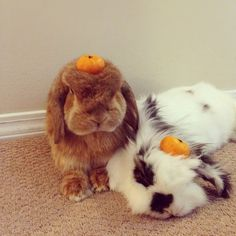 Eddy and Rambo: my favorite internet rabbits. /// both sweeties together now at Rainbow Bridge. Funny Bunnies, Baby Bunnies, Adorable Bunnies, Bunny Rabbits, Little Pets, Little Babies, Mini Lop, Cute Buns, Fluffy Bunny