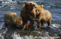 Female brown bear and young feeding on fish, Alaskan population