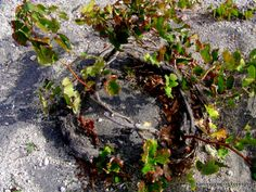 Different way of growing grapes in a place where there is no rain... Learn this on a wine tasting tour of #Santorini by Archaeologous.com.