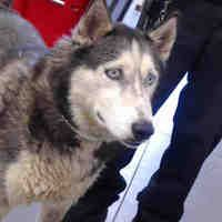 Phoenix Az Alaskan Malamute Meet A Dog For Adoption Alaskan