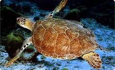 Defend our wildlife refuges and other national public lands. Stop the attempt by Congress to sell-off a wildlife refuge home to endangered green sea turtle habitat in Puerto Rico.