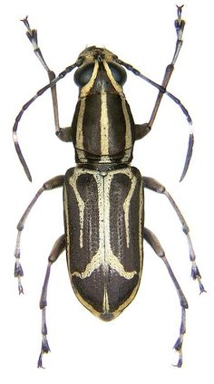 Weird Insects, Bugs And Insects, Insect Species, Animal Species, Longhorn Beetle, Lure Making, Beetle Bug, Beautiful Bugs, Beetles