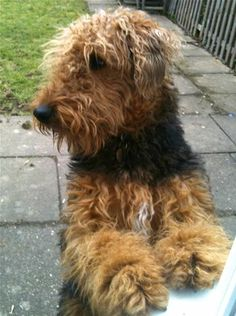 Love this fuzzy Airedale.