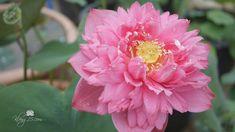 Nelumbo nucifera 'Ming Liu' Lotus บัวหลวงกลีบซ้อน 'หมิงหลิว' @Wahgarden,... Nelumbo Nucifera, Lotus, Thailand, Rose, Flowers, Plants, Lotus Flower, Pink, Plant