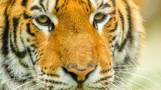Au Népal, en Inde, au Vietnam et au Bangladesh, nous soutenons ou coordonnons quatre programmes de conservation de l'espèce. #Tigres © Fabien Lemaire