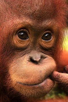 Baby orangutan. Is it not fascinating how much it can look like a human?