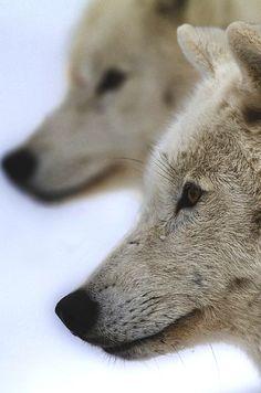 Artic Wolves photo by Renald Bourque