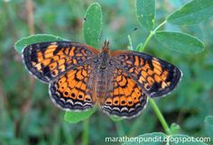 Pearl Crescent Butterfly | Photo) Pearl crescent butterfly