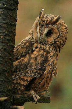 """ Et oui , je suis là !"" Long eared Owl ."