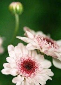Chrysanthemum x morifolium, Crisântemo-da-china, Crisântemo-do-japão, Monsenhor