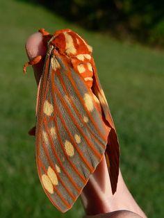 Regal Moth by rivadock4, via Flickr