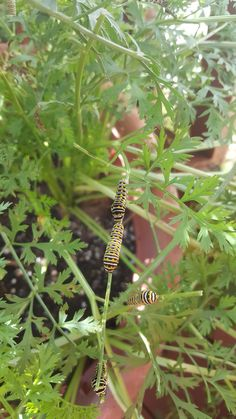 These caterpillars are all over my carrots. What type are they and what can I do? #gardening #garden #DIY #home #flowers #roses #nature #landscaping #horticulture