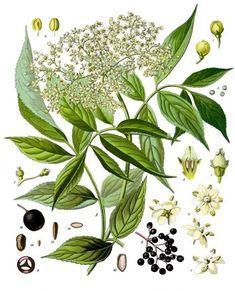 Holunderblüten in der Küche und für die Gesundheit nutzen