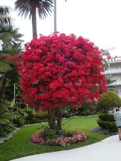 Bougainvillea Tree, just thought. Replace the rose on the arch into the garden with bougainvillea. Would be more showy and much hardier. Trees And Shrubs, Flowering Trees, Trees To Plant, Bonsai Trees, Beautiful Gardens, Beautiful Flowers, Exotic Flowers, Bougainvillea Tree, Exotic Plants