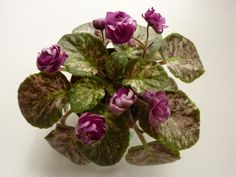 Witch Doctor (J. Gehr) Double burgundy/near-black tips. Mosaic variegated dark green and silver. Perennial Flowering Plants, Herbaceous Perennials, Saintpaulia, Witch Doctor, Pansies, Houseplants, Planting Flowers, African Violet, Modern