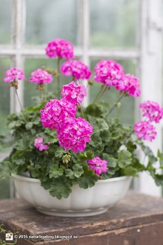A Few Effective Tips For Container Gardening Indoor gardening is a fun way to add to the visual attraction of your home. You can use the terrific suggestions given here to start improving your garden or begin a new one today. Geranium Plant, Pink Geranium, Pink Garden, Love Garden, Pink Flowers, Beautiful Flowers, Indoor Gardening Supplies, Container Gardening Vegetables, Flowers Nature