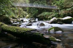The Milford Track, New Zealand. This suspensión bridge looks like it has been pedestrianized since I crossed it in the 70's. MMc