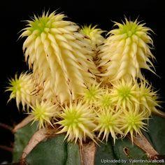 Euphorbia susannae cv. Lutea