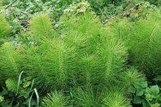 Skrzyp polny właściwości lecznicze przepisy Healthy Living, Plants, Beauty, Herb, Recipes, Perennials, Plant Stem, Asparagus, Backyards