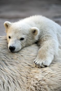 Little polar bear cub having a rest at his mom`s back   by Sergey Skleznev