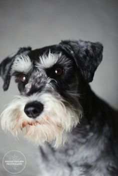 Had to post a picture of a schnauzer for my buddy Max (Pam's dog)!  Of course, Max is much cuter!