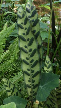 paeoniia: I thought this plant was beautiful, it looks like someone painted the leaves Unusual Plants, Rare Plants, Exotic Plants, Cool Plants, Tropical Garden, Tropical Plants, Bonsai, Large Flower Pots, Starting A Garden