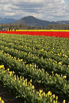 2012 Tulip Festival RoozenGaarde 2012-04-14 055.jpg by SquidgeyFlint, via Flickr