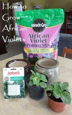 African Violets require special care. Find out the kind of pot you need, the amount of sun the plants need, and how to water them. #gardening #violets