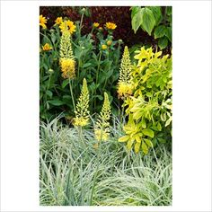 yellow eremurus 'isabel', carex oshimensis 'everest', rudbeckia and choisya ternata 'sundance'