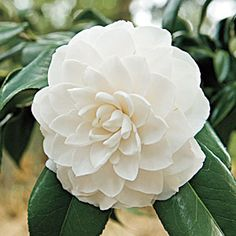 This beautiful flowering shrub has a long blooming season and loves the Southern climate. The post Camellia Planting Guide appeared first on Diy Flowers. Garden Shrubs, Flowering Shrubs, Trees And Shrubs, Garden Plants, Small Shrubs, Pretty Flowers, White Flowers, Exotic Flowers, Diy Flowers